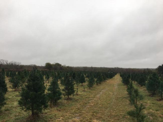 Christmas Tree Farm San Antonio