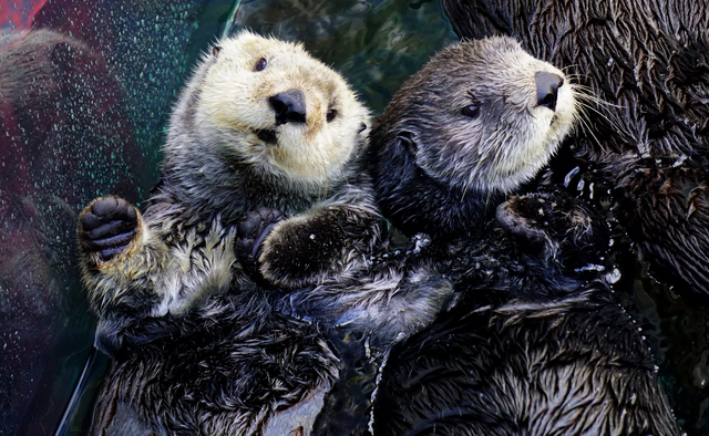 Monterey Bay Aquarium Sea Otter LIVE CAM | Kids Out and ...
